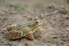 Pelophylax lessonae Royalty Free Stock Images