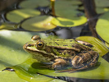 Pelophylax lessonae Stock Photo