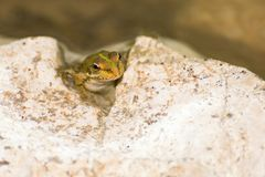 Pelophylax ridibundus Royalty Free Stock Photo