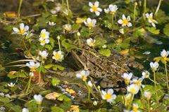 Pelophylax ridibundus Royalty Free Stock Image