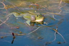 Pelophylax ridibundus Royalty Free Stock Images