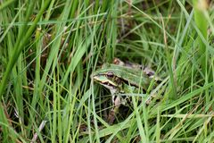 Pelophylax Stock Photography