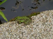 Pelophylax  or water frog at the waterfront Royalty Free Stock Image