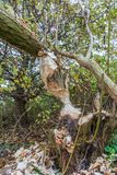 Pelos castores mordidos árvores na zona sujeita a inundações ao longo dos leks holandeses do rio Imagem de Stock Royalty Free