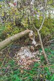 Pelos castores mordidos árvores na zona sujeita a inundações ao longo dos leks holandeses do rio Foto de Stock