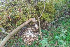 Pelos castores mordidos árvores na zona sujeita a inundações ao longo dos leks holandeses do rio Fotografia de Stock