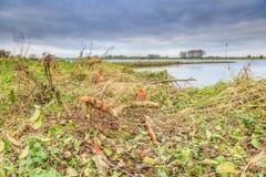 Pelos castores mordidos árvores na zona sujeita a inundações ao longo dos leks holandeses do rio Imagem de Stock