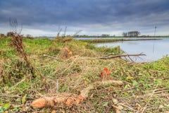 Pelos castores mordidos árvores na zona sujeita a inundações ao longo dos leks holandeses do rio Foto de Stock Royalty Free