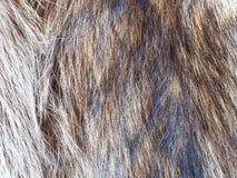 Pelos del cierre de la piel del mapache para arriba Imagen de archivo libre de regalías