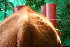 Pelos del elefante Fotografía de archivo