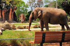 Pelotão da frente, elefante fêmea & homem no fundo fotos de stock royalty free