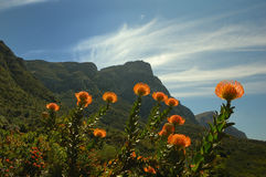 Pelote à épingles (Kirstenbosch) Photos libres de droits