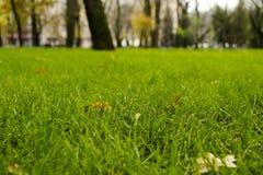 Pelouse automnale verte avec les feuilles jaunes tombées image libre de droits