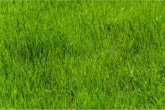Pelouse avec l'herbe vert clair Image libre de droits