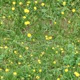 Pelouse d'herbe verte avec les pissenlits jaunes images stock