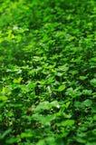 Pelouse de trèfle vert Photos stock