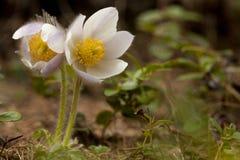 Pelsanemoon, wiosny Pasque kwiat, Pulsatilla vernalis zdjęcie royalty free