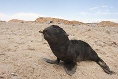 Pelsrob de Kaapse, lobo-marinho do cabo, pusillus do Arctocephalus fotos de stock