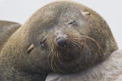 Pelsrob de Kaapse, lobo marino del cabo, pusillus del Arctocephalus fotos de archivo libres de regalías