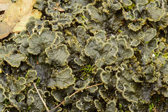 Peltigera canina. A foliose lichen with broad lobed thalli. Here seen when damp and moist Stock Images