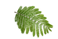 (Peltophorum pterocarpum (DC.) K.Heyne) , leaf form and texture Royalty Free Stock Images