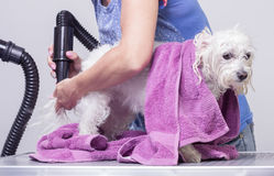 Peluquero seco de pelo de perro Foto de archivo libre de regalías