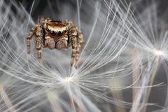 Pelusa de salto de la araña y del diente de león Fotografía de archivo