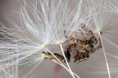 Pelusa de salto de la araña y del diente de león imagen de archivo