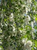 Pelusa del árbol de álamo Imagen de archivo