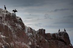 Pelusas en Bass Rock   Foto de archivo libre de regalías
