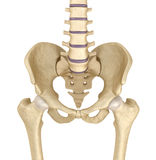 Pelvic area anatomy Royalty Free Stock Photography