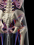 The pelvic circulatory system Stock Image