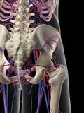 The pelvic circulatory system Stock Image
