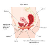 Pelvic floor muscles. Drawing to show the pelvic floor muscles and their support of the uterus, bladder and rectum Royalty Free Stock Photography