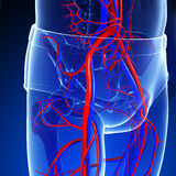 Pelvic girdle circulatory system Stock Photos