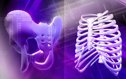 Pelvic girdle and rib cage Stock Photography