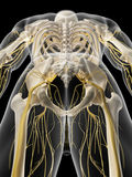 The pelvic nerves Royalty Free Stock Photos