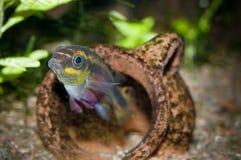 pelvicachromis kribensis pulcher Στοκ Εικόνα