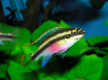 Pelvicachromis pulcher Royalty Free Stock Photo