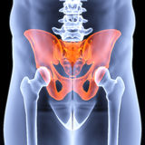 Pelvis. Male pelvis under the X-rays. pelvis is highlighted in red Royalty Free Stock Images