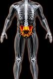 pelvis ilustración del vector