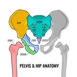 Pelvis Anatomy Scheme. Human male anatomy scheme. Main pelvis bones - sacrum, ilium, coccyx, pubis, ischium and femur. Vector illustration isolated on a white Royalty Free Stock Images