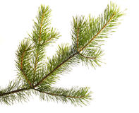 Pelz-Baum. Teil Weihnachtenbaum. Getrennt Lizenzfreie Stockfotografie