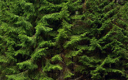 Pelz-Baum Zweige. Stockbilder