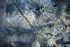 Pelz-Baumniederlassung mit Eis Stockbild