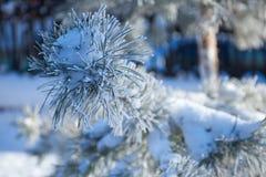 Pelz-Baumniederlassung mit Eis Stockfotografie
