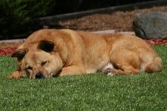 Pelz-Brown-Hund, der auf Gras schläft Lizenzfreie Stockfotos
