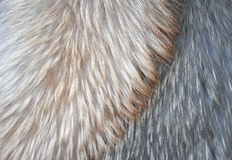Pelz des polaren Fuchses Lizenzfreie Stockfotografie