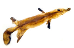 Pelz des roten Fuchses Stockfoto