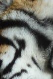 Pelz des Tigers Stockfoto